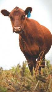 cow-in-grass-awa-169x300